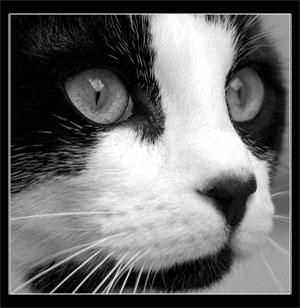 Chat noir et blanc dans Chats 01_mini